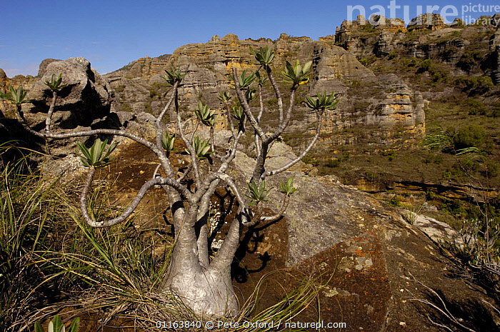 Elephant's foot plant (Pachypodium lameri) with Sandstone Massif of Isalo National Park in background. MADAGASCAR  ,  APOCYNACEAE,DICOTYLEDONS,LANDSCAPES,MADAGASCAR,PLANTS,RESERVE  ,  Pete Oxford