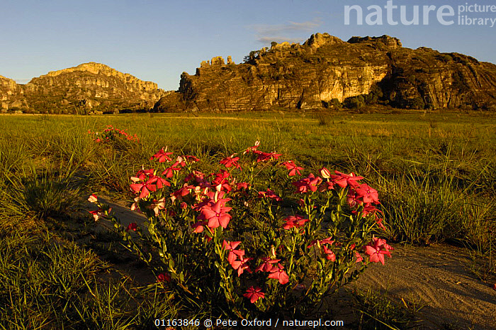 Isalo National Park with Rosy periwinkle (Catharanthus roseus) in bloom in foreground and  Sandstone Massif in background, MADAGASCAR  ,  FLOWERS,LANDSCAPES,MADAGASCAR,PLANTS,RESERVE  ,  Pete Oxford