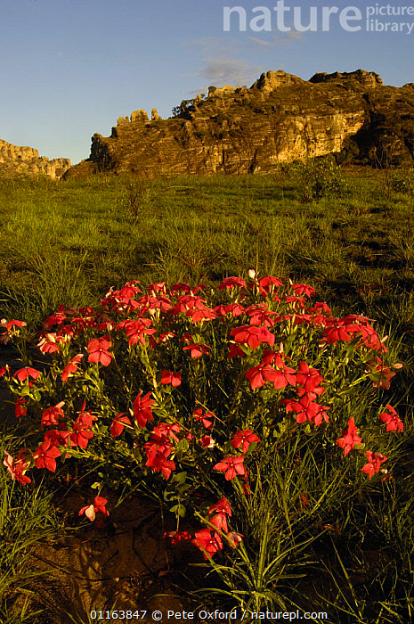 Isalo National Park with Rosy periwinkle (Catharanthus roseus) in bloom in foreground and  Sandstone Massif in background, MADAGASCAR  ,  FLOWERS,LANDSCAPES,MADAGASCAR,PLANTS,RESERVE,VERTICAL  ,  Pete Oxford