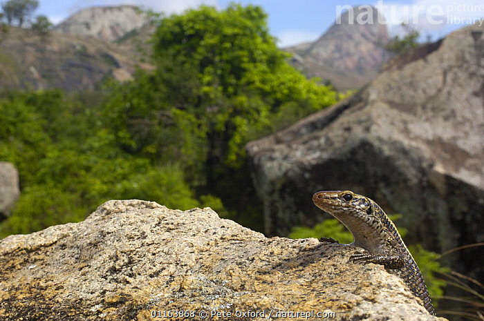Plated / Girdle-tailed lizard (Zonosaurus laticaudatus) near Andringitra mountains. South-central MADAGASCAR, endemic  ,  HABITAT,LANDSCAPES,LIZARDS,MADAGASCAR,PLATED LIZARDS,REPTILES,VERTEBRATES  ,  Pete Oxford