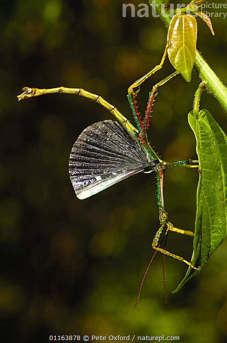 Stick insect (Phasma chryosptera) displaying,  Eastern rain forest, MADAGASCAR, endemic  ,  BEHAVIOUR,DISPLAY,MADAGASCAR,VERTICAL,WINGS,Communication  ,  Pete Oxford