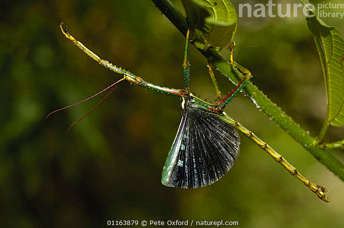 Stick insect (Phasma chryosptera) displaying,  Eastern rain forest, MADAGASCAR, endemic  ,  BEHAVIOUR,DISPLAY,MADAGASCAR,WINGS,Communication  ,  Pete Oxford