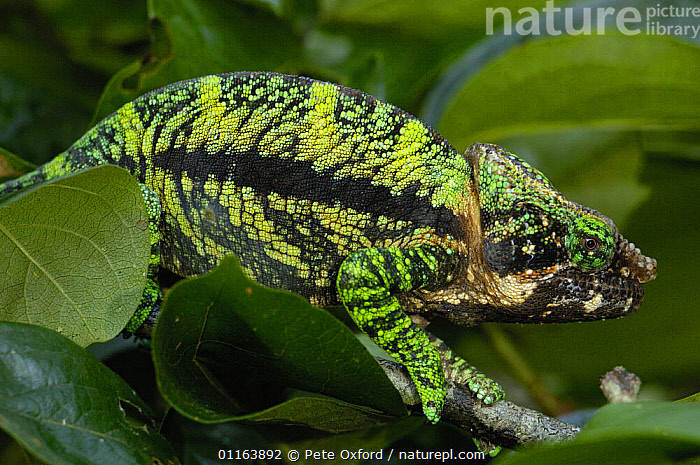 Globular / Globe headed chameleon (Calumma globifer) eastern forest within the Anjozorabo corridor to Ranamofana National Park, MADAGASCAR, endemic  ,  CAMOUFLAGE,CHAMELEONS,GREEN,MADAGASCAR,REPTILES,tropical rainforest,VERTEBRATES,Lizards, Chameleons  ,  Pete Oxford