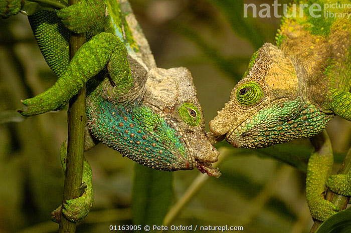 O'shaughnessy's chameleon (Calumma oshaughnessyi)  males fighting, Andohahela National Park, MADAGASCAR, endemic  ,  AGGRESSION,BEHAVIOUR,Breeding,CHAMELEONS,FIGHTING,MADAGASCAR,MALES,REPTILES,two,VERTEBRATES,Concepts,Lizards, Chameleons  ,  Pete Oxford