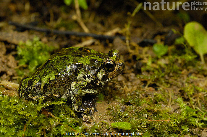 Warty green burrowing frog (Scaphiophryne marmorata) found along the eastern humid and rain forests as well as the Tsingy of Bemaraha on the west of MADAGASCAR, endemic  ,  AMPHIBIANS,Anura,FROGS,MADAGASCAR,NARROW MOUTHED FROGS,tropical rainforest,VERTEBRATES  ,  Pete Oxford