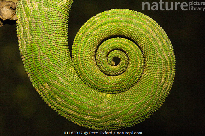 Close up of coiled Chameleon tail, MADAGASCAR  ,  arty,CHAMELEONS,coils,GREEN,LIZARDS,MADAGASCAR,REPTILES,TAILS,VERTEBRATES, Chameleons  ,  Pete Oxford