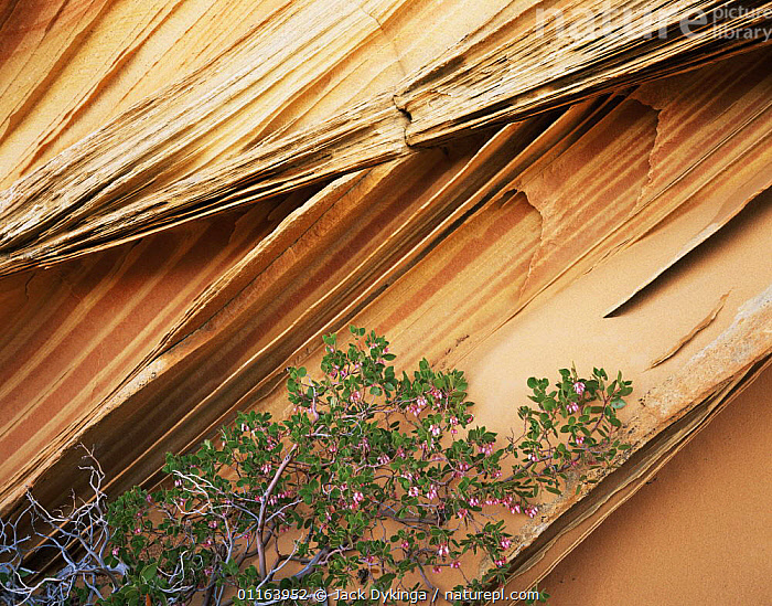 Delicate sandstone fins of petrified sand dune, Paria Canyon-Vermilion Cliffs Wilderness, Arizona, USA with flowering Pointleaf manzanita {Arctostaphylos pungens}  ,  FLOWERS,LANDSCAPES,NORTH AMERICA,PLANTS,RESERVE,ROCK FORMATIONS,STRIATIONS,USA,Geology  ,  Jack Dykinga