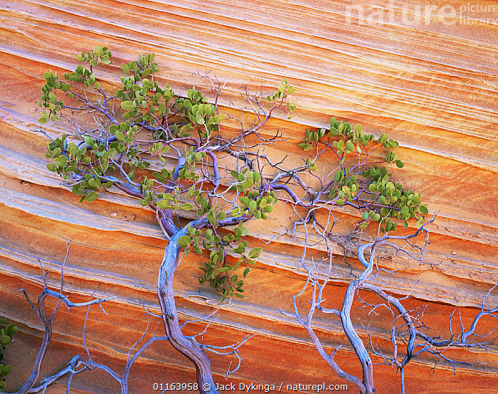 Petrified sand dunes with eroded red and yellow sandstone bands, Paria Canyon-Vermilion Cliffs Wilderness, Arizona, USA, and Pointleaf manzanita {Arctostaphylos pungens}  ,  ARTY,LANDSCAPES,NORTH AMERICA,PLANTS,RESERVE,ROCK FORMATIONS,STRIATIONS,USA,Geology,Catalogue1  ,  Jack Dykinga