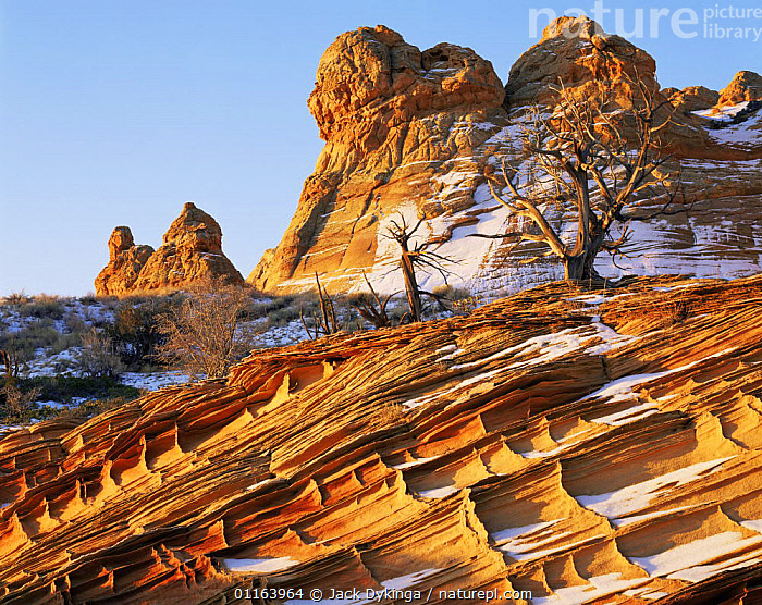 Petrified sand dunes with eroded cross hatch sandstone strata at dawn, Paria Canyon-Vermilion Cliffs Wilderness, Arizona, USA with first winter snow and Juniper bushes {Juniperus osteosperma}  ,  EROSION,LANDSCAPES,NORTH AMERICA,PLANTS,RESERVE,ROCK FORMATIONS,STRIATIONS,TREES,USA,Geology,Catalogue1  ,  Jack Dykinga