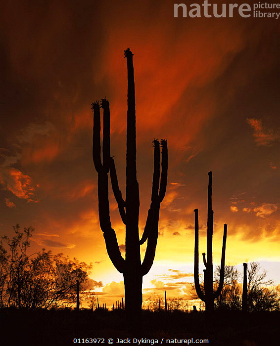 Saguaro cactus {Carnegia gigantea} at sunset silhouetted against summer storm clouds, Tucson Mountain Park, Arizona, USA  ,  CACTI,DESERTS,LANDSCAPES,NORTH AMERICA,PLANTS,RESERVE,SILHOUETTES,STORMS,USA,VERTICAL,Weather  ,  Jack Dykinga