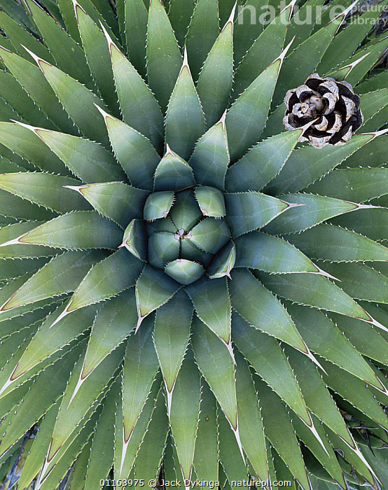 Looking down into the leaves of an Agave plant {Agave utahensis} with Pinyon pine cone {Pinus edulis}, Grand Canyon-Parashant National Monument, Arizona, USA  ,  AGAVACEAE,ARTY,CONES,DESERTS,MONOCOTYLEDONS,NORTH AMERICA,PATTERNS,PLANTS,RESERVE,SUCCULENTS,USA,VERTICAL,Catalogue1  ,  Jack Dykinga