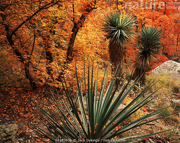 Yucca {Yucca schottii} and Bigtooth maples {Acer grandidentatum} in autumn colours, Huachuca mountains, Coronado National Forest, Arizona, USA  ,  GOLDEN,LANDSCAPES,MIXED SPECIES,NORTH AMERICA,ORANGE,PLANTS,RESERVE,TRESS,USA,WOODLANDS,Catalogue1  ,  Jack Dykinga