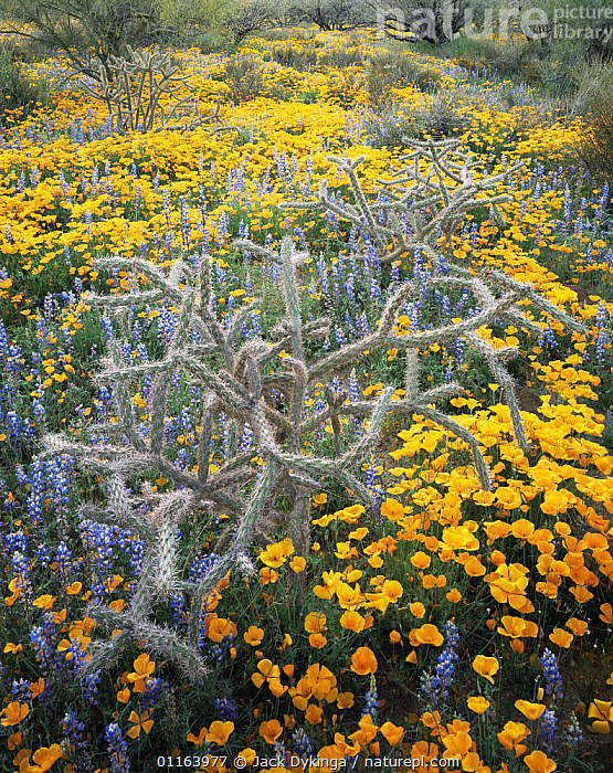Cane cholla cactus {Opuntia versicolor}, Lupins {Lupinus sparsiflorus} and Californian poppies {Exchscholtzia californica} flowering on Quinlan mountains, Tohono O'oodham Reserve, Arizona, USA  ,  CACTI,FLOWERS,LANDSCAPES,LUPIN,MIXED SPECIES,NORTH AMERICA,PLANTS,POPPY,RESERVE,SPRING,USA,VERTICAL,YELLOW,Catalogue1  ,  Jack Dykinga