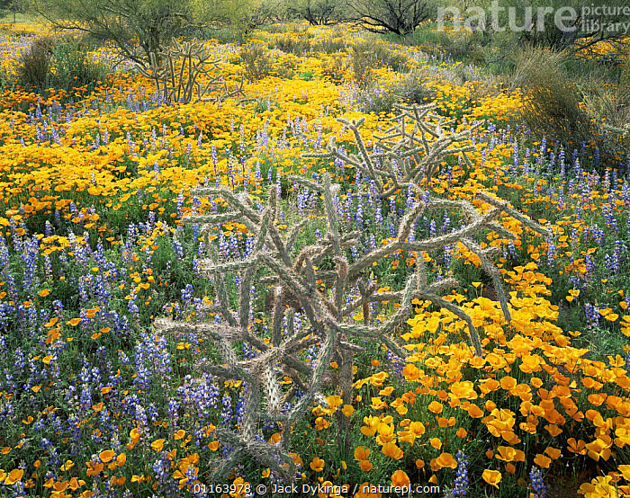 Cane cholla cactus {Opuntia versicolor}, Lupins {Lupinus sparsiflorus} and Californian poppies {Exchscholtzia californica} flowering on Quinlan mountains, Tohono O'oodham Reserve, Arizona, USA  ,  CACTI,FLOWERS,LANDSCAPES,LUPIN,MIXED SPECIES,NORTH AMERICA,PLANTS,POPPY,RESERVE,USA,YELLOW  ,  Jack Dykinga