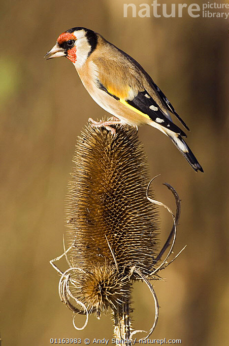 Goldfinch (Carduelis carduelis) perched on a Teasel seed head (Dipsacus genus) Hertfordshire, UK  ,  BIRDS,EUROPE,FINCHES,PLANTS,PORTRAITS,PROFILE,TEASELS,UK,VERTEBRATES,VERTICAL,United Kingdom,British  ,  Andy Sands