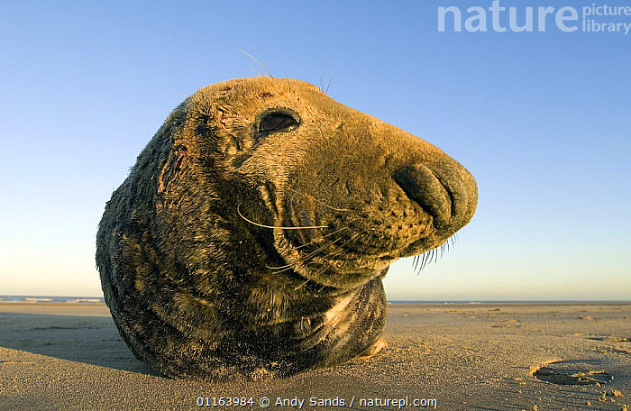 Close up of Grey Seal (Halichoerus grypus) bull, Lincolnshire, UK  ,  BEACHES,CARNIVORES,COASTS,CUTE,EUROPE,HEADS,MALES,MAMMALS,MARINE,PINNIPEDS,PORTRAITS,SEALS,UK,VERTEBRATES,WIDE ANGLE,United Kingdom,British  ,  Andy Sands