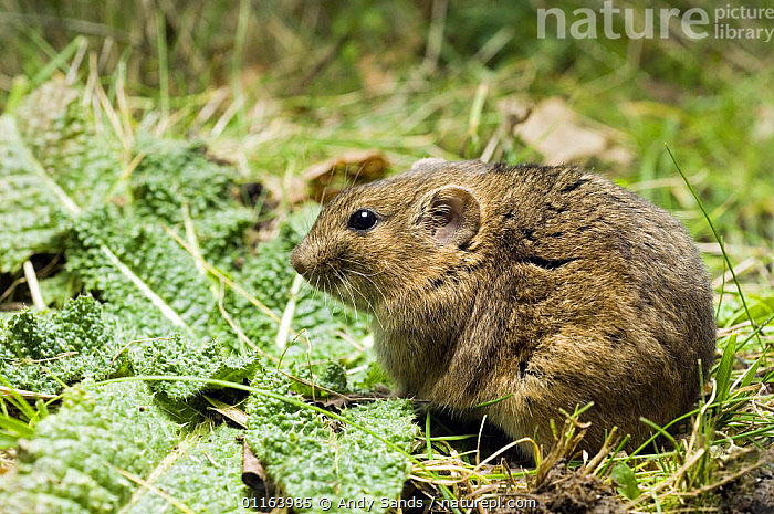 Social / Gunther's Vole (Microtus socialis) in grass, captive, native to Asia  ,  ASIA,EUROPE,PORTRAITS,PROFILE,RODENTS,VERTEBRATES,VOLES,Mammals,Muridae  ,  Andy Sands