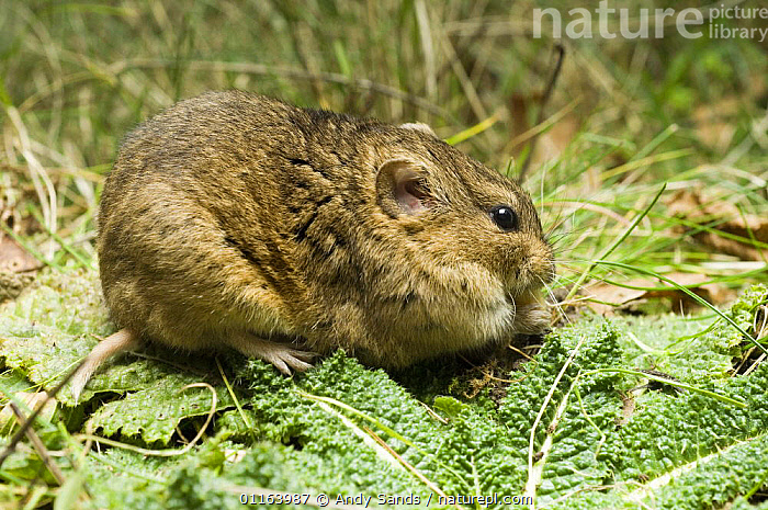 Gunther's Vole (Microtus socialis) feeding, note pale tail and almost white hind feet, captive, native to Asia  ,  ASIA,BEHAVIOUR,EUROPE,FEEDING,RODENTS,VERTEBRATES,VOLES,Mammals,Muridae  ,  Andy Sands