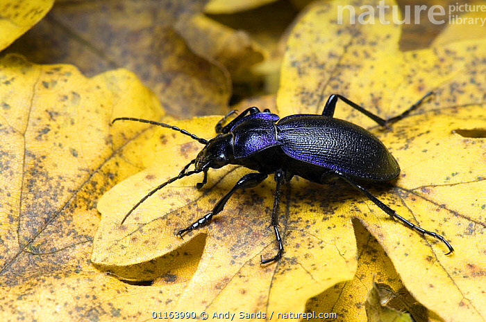 Violet Ground Beetle (Carabus problematicus) foraging among Field Maple leaves in autumn, Hertfordshire, UK  ,  BEETLES,COLEOPTERA,EUROPE,GROUND BEETLES,INSECTS,INVERTEBRATES,UK,United Kingdom,British  ,  Andy Sands