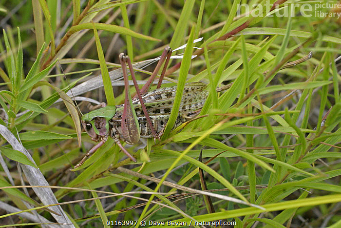 Wart Biter (Decticus verrucivorus) in grass, Hungry  ,  EUROPE, GRASSHOPPERS, HUNGRY, INSECTS, INVERTEBRATES, LONG-HORNED-GRASSHOPPERS, ORTHOPTERA,Concepts  ,  Dave Bevan