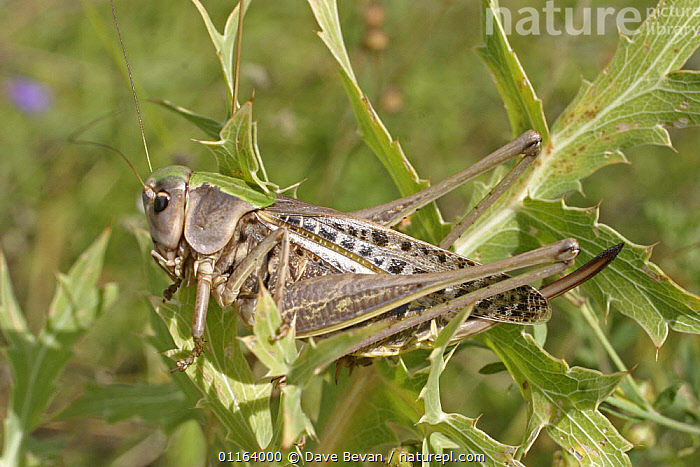 Wart Biter (Decticus verrucivorus) Hungry  ,  EUROPE, GRASSHOPPERS, HUNGRY, INSECTS, INVERTEBRATES, LONG-HORNED-GRASSHOPPERS, ORTHOPTERA, PORTRAITS,Concepts  ,  Dave Bevan