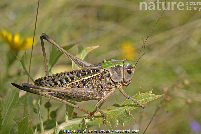 Wart Biter (Decticus verrucivorus) on plant, Hungry  ,  EUROPE, GRASSHOPPERS, HUNGRY, INSECTS, INVERTEBRATES, LONG-HORNED-GRASSHOPPERS, ORTHOPTERA, PORTRAITS,Concepts  ,  Dave Bevan
