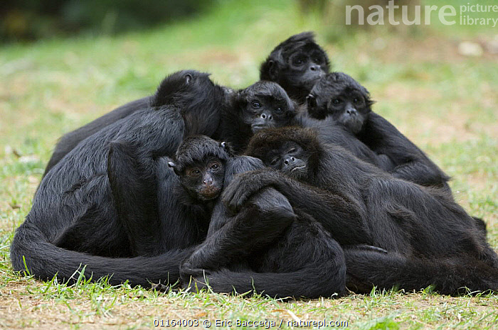 Group of Colombian Black Spider monkeys (Ateles fusciceps robustus) resting in a heap, captive, a vulnerable species native to Colombia and Panama  ,  BEHAVIOUR,CENTRAL AMERICA,COLOMBIA,CUTE,GROUPS,MAMMALS,MONKEYS,PANAMA,PRIMATES,SLEEPING,SPIDER MONKEYS,VERTEBRATES  ,  Eric Baccega