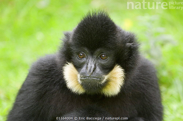 Portrait of Goldencheeked Gibbon (Hylobates concolor gabriellae) captive, native to Vietnam, Laos and Cambodia  ,  CHEEKS,GIBBONS,MAMMALS,MONKEYS,PORTRAITS,PRIMATES,SOUTH EAST ASIA,VERTEBRATES,Asia,Apes  ,  Eric Baccega