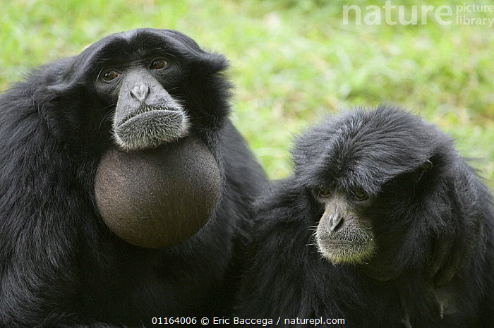 Pair of Siamang gibbon (Hylobates syndactylus) vocalising, captive, native to forests of Sumatra, Malaysia and Thailand  ,  BEHAVIOUR,GIBBONS,GREAT APES,MALAYSIA,MAMMALS,PORTRAITS,PRIMATES,RAINFORESTS,SOUTH EAST ASIA,SUMATRA,TWO,VERTEBRATES,VOCALISATION,Asia,Apes  ,  Eric Baccega