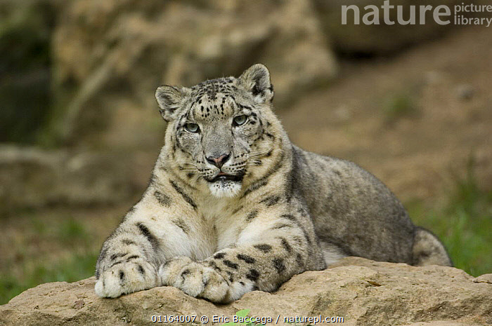 Snow leopard (Uncia uncia) captive, native to mountains of central and southern Asia  ,  ASIA,BIG CATS,CARNIVORES,ENDANGERED,LEOPARDS,MAMMALS,MOUNTAINS,PORTRAITS,WEATHER  ,  Eric Baccega