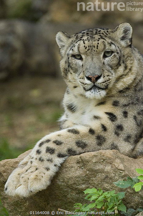 Snow leopard (Uncia uncia) captive, native to mountains of Central and southern Asia  ,  ASIA,BIG CATS,CARNIVORES,ENDANGERED,LEOPARDS,MAMMALS,MOUNTAINS,PORTRAITS,VERTICAL,WEATHER  ,  Eric Baccega