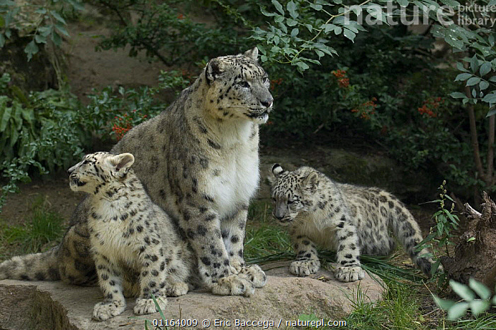 Snow leopard (Uncia uncia) mother with 2 cubs, captive, native to mountains of central and southern Asia  ,  ASIA,BABIES,BEHAVIOUR,BIG CATS,CARNIVORES,CUBS,CUTE,ENDANGERED,FAMILIES,LEOPARDS,MAMMALS,MOTHER,MOUNTAINS,PARENTAL,WEATHER  ,  Eric Baccega