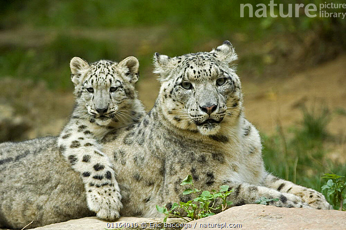 Snow leopard mother (Uncia uncia) with cub, captive, native to mountains of central and southern Asia  ,  ASIA,BABIES,BEHAVIOUR,BIG CATS,CARNIVORES,CUBS,CUTE,ENDANGERED,LEOPARDS,MAMMALS,MOUNTAINS,PARENTAL,PORTRAITS,WEATHER  ,  Eric Baccega