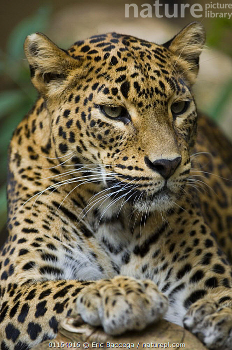 Portrait of a female Sri Lanka Leopard (Panthera pardus kotiya) captive, a vulnerable species  ,  BIG CATS,CARNIVORES,ENDANGERED,FEMALES,INDIAN SUBCONTINENT,LEOPARDS,MAMMALS,PORTRAITS,SRI LANKA,VERTEBRATES,VERTICAL,Asia  ,  Eric Baccega
