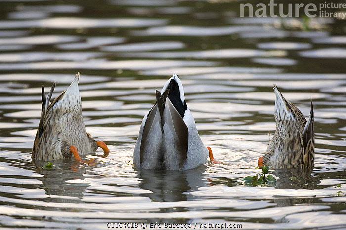 Mallard duck (Anas platyrhyndos) male and two femails up-ended dabbling in water, France  ,  BEHAVIOUR,BIRDS,DABBLING,DUCKS,EUROPE,FEEDING,FEMALES,FRANCE,MALES,PONDS,VERTEBRATES,WATERFOWL  ,  Eric Baccega