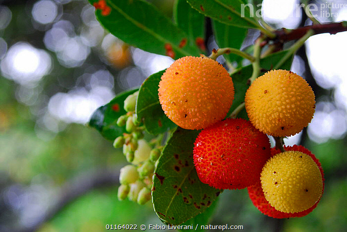 Close-up of fruit on Strawberry tree {Arbutus unedo} Sardinia, Italy  ,  DICOTYLEDONS,ERICACEAE,EUROPE,FRUIT,ITALY,PLANTS , Supramonte NP, national park  ,  Fabio Liverani