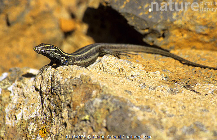 Boettger's Lizard (Gallotia caesaris) on rocks, Sabinosa, El Hierro, Canary Islands  ,  CANARY ISLANDS,ENDEMIC,LIZARDS,REPTILES,SPAIN,VERTEBRATES,WALL LIZARDS,Europe  ,  Martin Gabriel