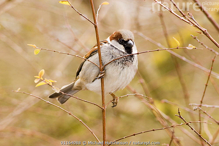 Male Common / House sparrow (Passer domesticus) perched on twig, grey cap clearly visible, Gloucestershire, UK  ,  BIRDS,EUROPE,MALES,PORTRAITS,SPARROWS,UK,VERTEBRATES,United Kingdom,British  ,  Michael Hutchinson