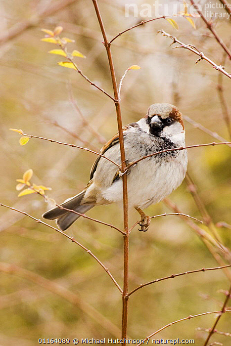 Male Common / House sparrow (Passer domesticus) perched on twig, grey cap clearly visible, Gloucestershire, UK  ,  BIRDS,EUROPE,MALES,PORTRAITS,SPARROWS,UK,VERTEBRATES,VERTICAL,United Kingdom,British  ,  Michael Hutchinson