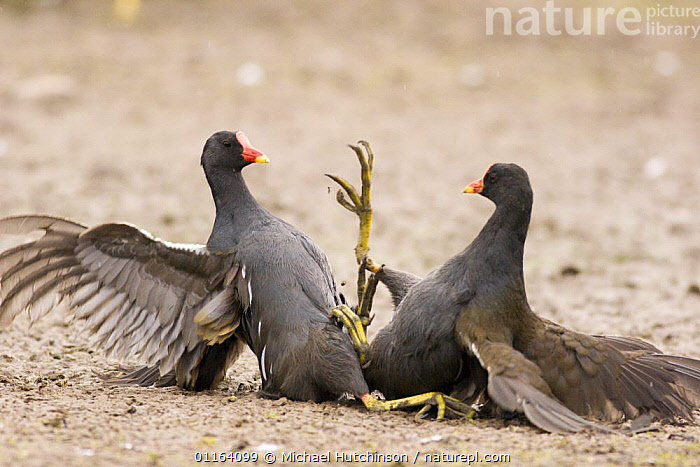 Male Moorhens (Gallinula chloropus) fighting with clawed feet, Gloucestershire, UK  ,  ACTION,AGGRESSION,BEHAVIOUR,BIRDS,CLAWS,DRAMATIC,EUROPE,FIGHTING,MALES,MOORHENS,UK,VERTEBRATES,WATERFOWL,United Kingdom,Concepts,British  ,  Michael Hutchinson