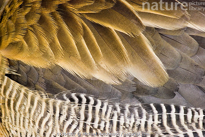 White-faced Whistling Duck / White-faced tree duck (Dendrocygna viduata), close-up abstract of wing and belly feathers, captive, Slimbridge, UK  ,  BIRDS,CLOSE UPS,VERTEBRATES,WATERFOWL,WHISTLING DUCKS,Wildfowl  ,  Michael Hutchinson