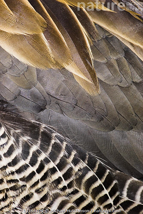 White-faced Whistling Duck / White-faced tree duck (Dendrocygna viduata), close-up abstract of wing and belly feathers, captive, Slimbridge, UK  ,  BIRDS,CLOSE UPS,UK,VERTEBRATES,VERTICAL,WATERFOWL,WHISTLING DUCKS,Europe,United Kingdom,British,Wildfowl  ,  Michael Hutchinson