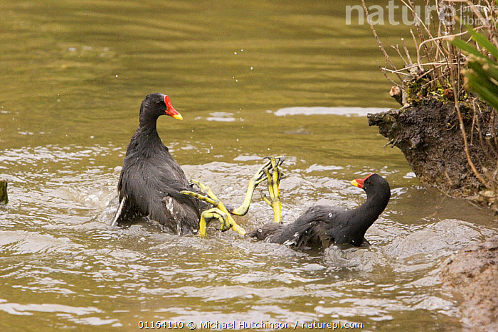 Moorhens (Gallinula chloropus) two aggressively fighting clawing with feet in water, Gloucestershire, UK  ,  AGGRESSION,BEHAVIOUR,BIRDS,EUROPE,MALES,MOORHENS,UK,VERTEBRATES,WATERFOWL,United Kingdom,Concepts,British  ,  Michael Hutchinson