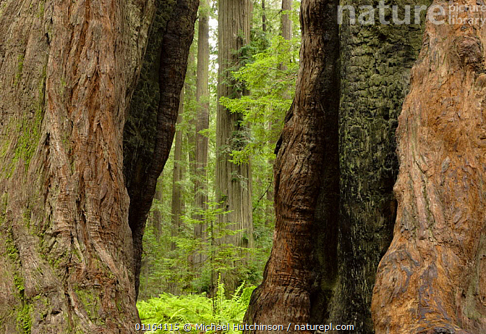 Gap in trunk created by fire in Coastal Giant redwood tree {Sequoia sempervirens} Humboldt Redwoods State Park, California, USA  ,  CONIFERS,GYMNOSPERMS,NORTH AMERICA,PLANTS,RESERVE,TAXODIACEAE,TREES,TRUNKS,USA  ,  Michael Hutchinson