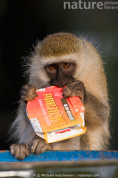 Vervet monkey (Chlorocebus / Cercopithecus aethiops) with drink carton raided from bin, ripping it open to get at leftover contents, Kenya Not available for ringtone/wallpaper use.  ,  BEHAVIOUR,Cercopithecidae,CERCOPITHECUS AETHIOPS,East Africa,FEEDING,GREEN MONKEY,Kenya,MAMMALS,MONKEYS,PESTS,PRIMATES,REFUSE,rubbish,SCAVENGING,VERTEBRATES,VERTICAL,VERVET MONKEY,RINGTONE  ,  Michael Hutchinson