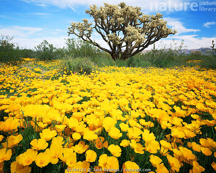 Carpet of yellow Mexican poppies {Eschscholtzia californica} with Chain cholla cactus {Opuntia fulgida} Puerto Blanco Mts, Organ Pipe National Monument, Arizona, USA  ,  CACTI,CACTUS,DESERTS,FLOWERS,LANDSCAPES,MIXED SPECIES,NORTH AMERICA,PLANTS,RESERVE,USA  ,  Jack Dykinga