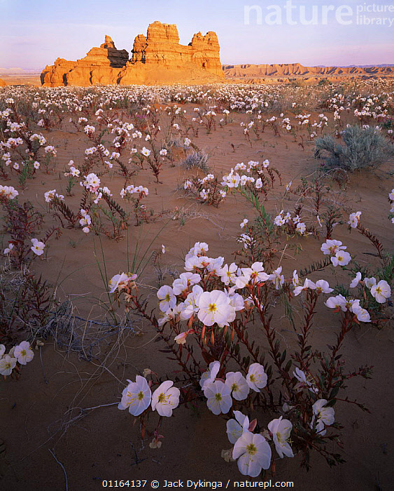 Sawtooth evening primrose {Oenothera pallida} flowering in San Rafael desert, Utah, USA with sandstone hoodoo formations in background  ,  DESERTS,FLOWERS,LANDSCAPES,NORTH AMERICA,PLANTS,RESERVE,ROCK FORMATIONS,USA,VERTICAL,Geology  ,  Jack Dykinga