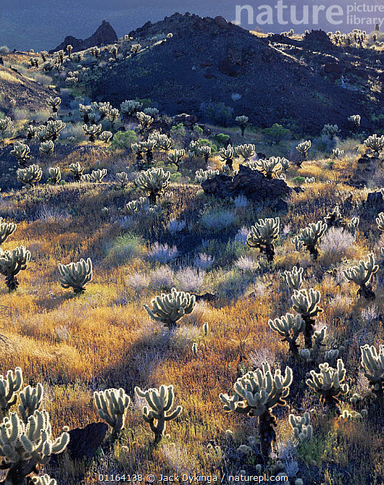 Mexico Teddy bear cholla cactus {Opuntia biegelovii} growing on volcanic lava flow, Pinacate and Gran Desierto Altar Biosphere Reserve, Sonoran desert, Mexico  ,  CENTRAL AMERICA,DESERTS,GRASS,LANDSCAPES,MEXICO,PLANTS,RESERVE,VERTICAL,North America,USA,Catalogue1  ,  Jack Dykinga