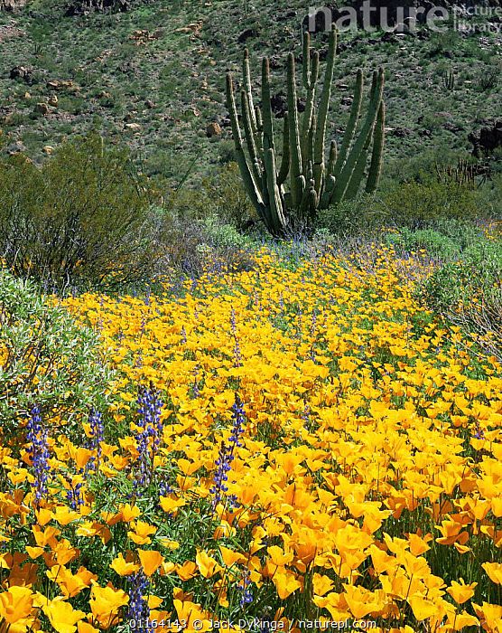 Mexican poppies {Eschscholtzia californica} flowering in desert with Organ pipe cactus {Cereus thurberi} behind, Ajo Mtns, Organ Pipe Cactus National Monument, Arizona, USA  ,  CACTI,CACTUS,DESERTS,FLOWERS,LANDSCAPES,NORTH AMERICA,RESERVE,SPRING,USA,VERTICAL,YELLOW,Plants  ,  Jack Dykinga