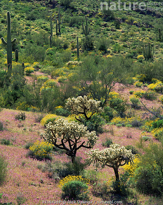 Brittlebush {Encelia farinosa} and Red owl's clover {Orthocarpus purpurascens} flowering in desert with Chain cholla cactus {Opuntia fulgida} Blanco Mtns, Organ Pipe Cactus National Monument, Arizona, USA  ,  CACTI,CACTUS,DESERTS,FLOWERS,LANDSCAPES,NORTH AMERICA,PLANTS,RESERVE,USA,VERTICAL  ,  Jack Dykinga